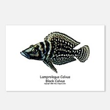 Altolamprologus calvus Postcards (Package of 8)
