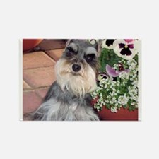 Schnauzer and the Pansies Rectangle Magnet (100 pa