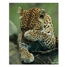 Leopard Grooming Small Poster