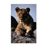 Female African Lion Mini Poster Print