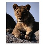Female African Lion Small Poster