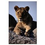 Female African Lion Large Poster