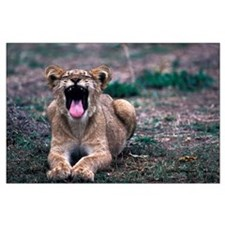 Lioness Yawning Large Poster