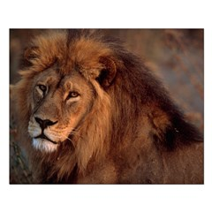 African Lion Posters
