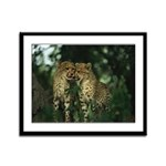 Nuzzling Cheetah Cubs Framed Panel Print