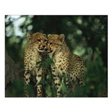 Nuzzling Cheetah Cubs Small Poster