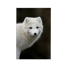 Arctic Fox Rectangle Magnet (100 pack)