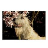 Irish wolfhounds Postcards