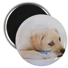 "Labrador Puppy Dog 2.25"" Magnet (100 pack)"