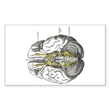 grays brain anatomy Decal