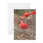 ibis Greeting Cards (Pk of 20)