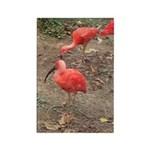 ibis Rectangle Magnet