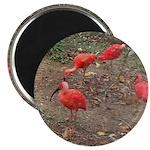 ibis Magnet