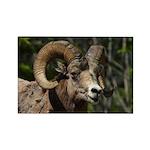 Bighorn Sheep Rectangle Magnet