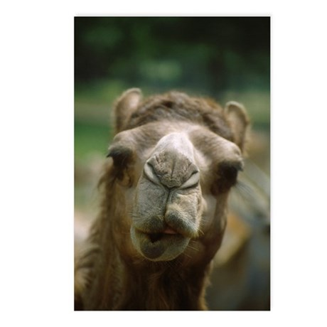 Kissing Camel Postcards (Package of 8)