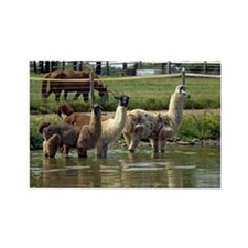 Llamas in a Pond Rectangle Magnet (10 pack)
