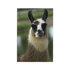 Brown and White Llama Rectangle Magnet