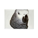 Congo African Grey Rectangle Magnet (10 pack)