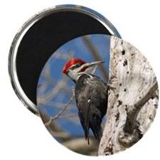 Male Pileated Woodpecker Magnet
