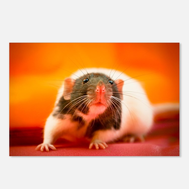 Rat Postcards (Package of 8)