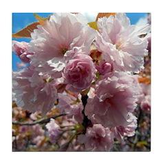 Spring tree blossom Tile Coaster