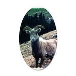 Mountain Sheep 35x21 Oval Wall Decal
