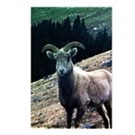 Mountain Sheep Postcards (Package of 8)