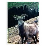 Mountain Sheep Small Poster