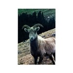 Mountain Sheep Rectangle Magnet (100 pack)