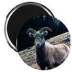 Mountain Sheep Magnet