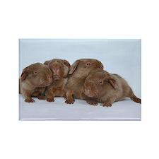 Beige Tan Guinea Pig Babies Rectangle Magnet