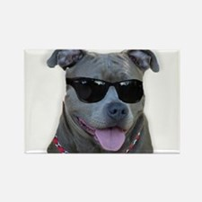 Pitbull in sunglasses Rectangle Magnet (100 pack)
