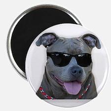 """Pitbull in sunglasses 2.25"""" Magnet (100 pack)"""