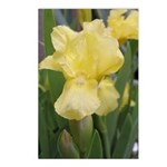 Yellow iris Postcards (Package of 8)