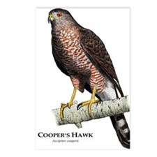 Cooper's Hawk Postcards (Package of 8)