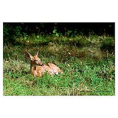 Deer photo DE003-2 Poster