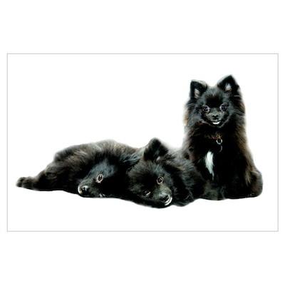 Black Pomeranian Puppy Poster