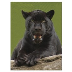 Black Jaguar Framed Print