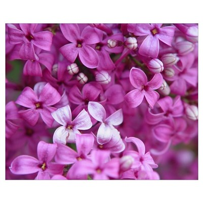 Lilac Blossoms Poster