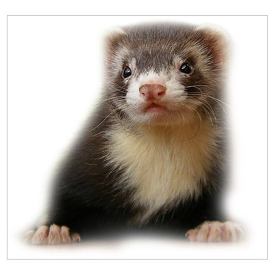 Young Ferret Poster