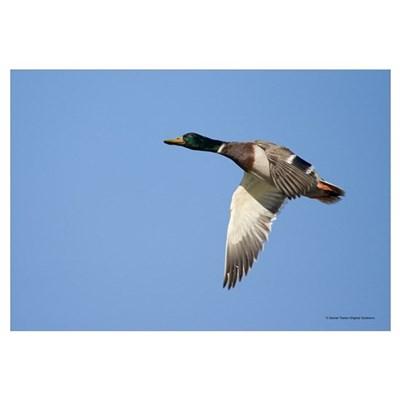 Mallard Duck Framed Print
