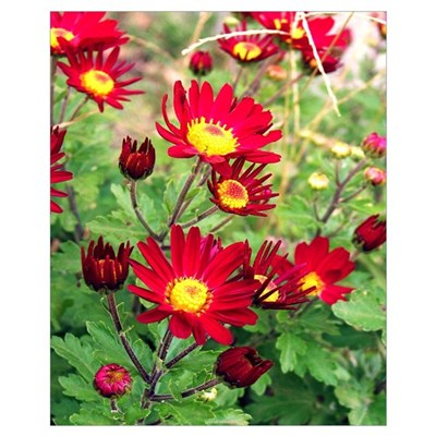 Red Daisy Mums Poster
