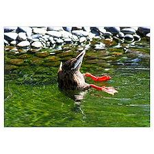 16x20 Bottoms Up Duck