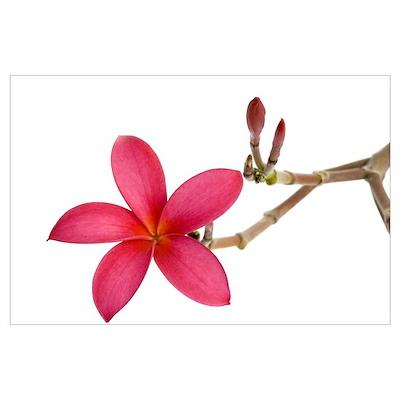 Red Frangipani flower Poster