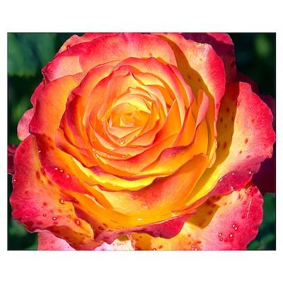 Tequila Sunrise Rose Poster