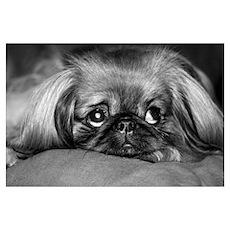 Dog - Pekingese #1 Poster