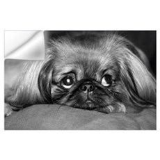 Dog - Pekingese #1 Wall Decal