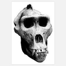 Lowland Gorilla Skull