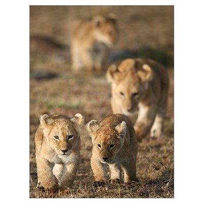 Wild African Lion Cubs Poster
