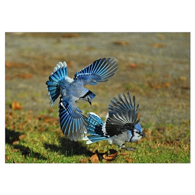 2 Blue Jays Poster